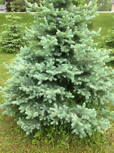 TREES - Cedar, Blue Spruce, Norway Spruce, Red Maples, etc. (GU)