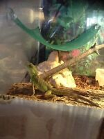 Baby water dragon for sale