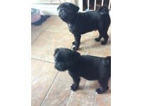 Black pug puppies ready now