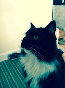 Gorgeous Tuxedo Cat - Free to the Right Home