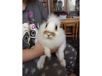 White and beige cross lion head male rabbit 14 weeks old. Can deliver.