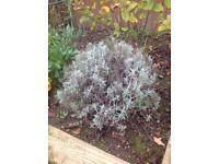 """Garden Plants. Lavender """" Artic Snow"""""""