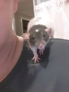 Sweet and charming VERY SOCIAL masked Dumbo rats
