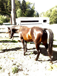 AQHA 5 YEAR OLD SOLID BAY GELDING