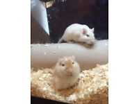 4 beautiful tame male gerbils £25 for all four £8 each
