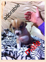 7 boxer mix puppies for sale