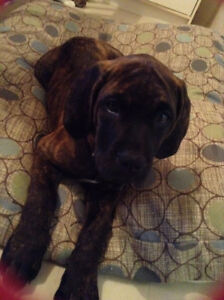 Female English Mastiff for sale