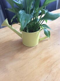 Watering can planter with Lilly