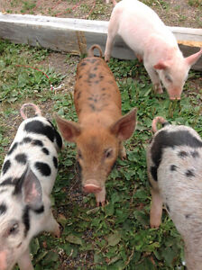 Weaner pigs, Piglets for sale. Asking $100 or best offer