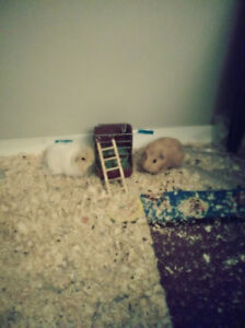 2 guinea pigs with cage..
