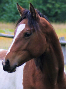 Registered APHA bay rabicano tobiano 2018 filly! Quiet + sweet1