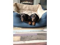 2 dachshund boys left