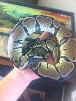 Normal male ball python for sale