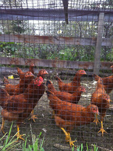 Red Sussex Pullets (dozen)