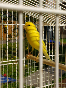 Timbrado Canaries for sale