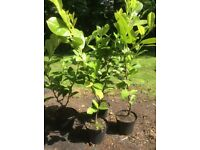 Laurel Hedging Evergreen Shrub Plant Easy To Grow White Flowers Fast Growing 80cm/90cm Tall
