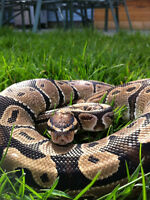 BALL PYTHON WITH ACCESSORIES