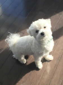 Adorable pure bichon maltais one year old