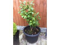 Large Pot with established shrub