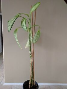 Dieffenbachia Thick Stock Plant $30- $80: Choice of 3