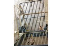 Baby cockatiels for sale