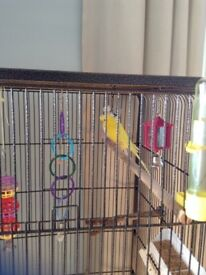 Two young Budgies, both male with large cage.