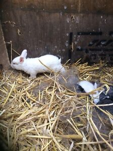 Flemish Giant baby bunnies for sale.