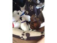 Staffy X pups