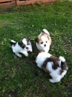 Shih-Tzu Puppies For Sale (8 weeks old) Born July 4th 2015