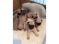 stunning pure pug Kc registered puppies