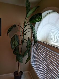 Dieffenbachia (thick stock house plants) $50 and $25