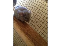 """Pending collection"" Baby chinchilla"