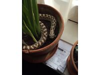 Western Hognose for sale £30