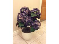 Hydrangea plant for sale