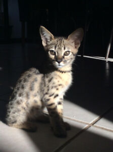 2 F2 females SAVANNAH kittens AVAILABLE