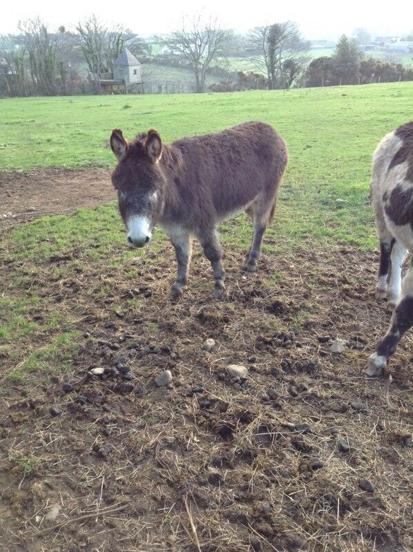 2 jack donkeys