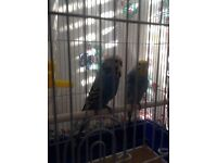 Rescue budgie with cage needs a good home