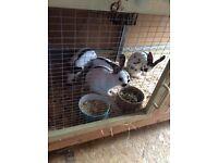 English spot rabbits for sale Pure bread