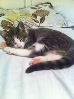 2 MALE, Short hair, grey and white kittens. SALMON ARM