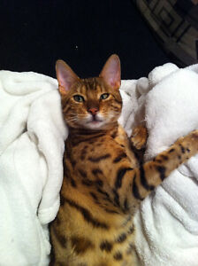 Lost Bengal Male Cat in Laurier Heights  $500 reward