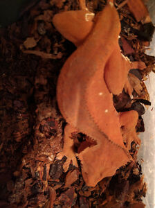 Orange bicolor male crested gecko (dropped tail)