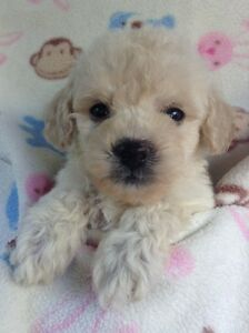 ADORABLE MALTI-POO PUPPIES.... CERTIFIED AWESOME...!!!