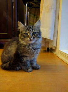 adorable kittens for sale (not vaccinated)