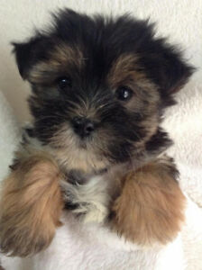 Tiny Toy Morkie Puppies
