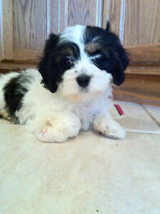 Cavalier Mix Male and female - Ready Sept. 16 Reserve today
