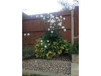 "Garden Plant. Anemone ""Honorine Jobert"""