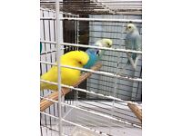 4 Budgies + cage