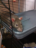 Looking for a new home for my rat