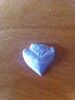 Cow shark tooth from 75 million years ago
