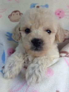 TINY TOY MALTESE - POODLE PUPPIES